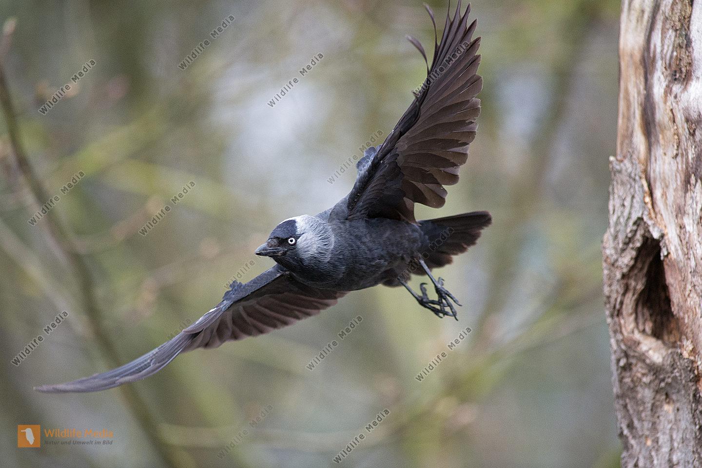 Dohle Corvus monedula fliegt aus einer Höhle des Schwarzspechtes Dryocopus martius
