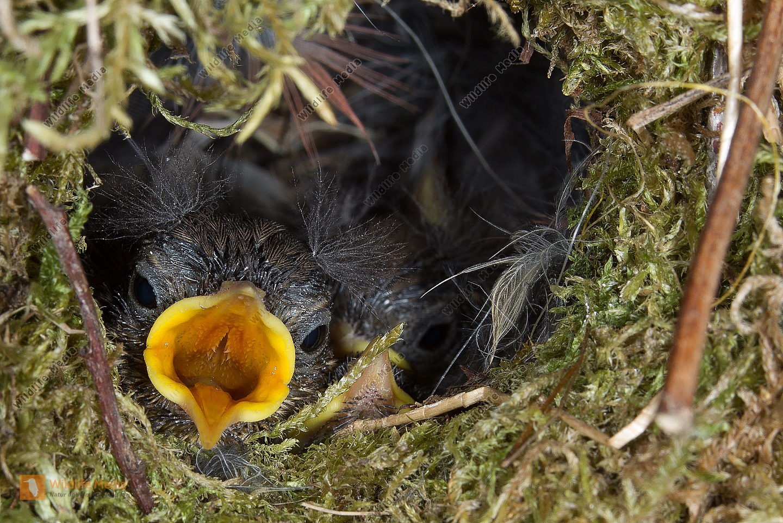 Zaunkoenig Troglodytes troglodytes Jungvögel Nest Brut
