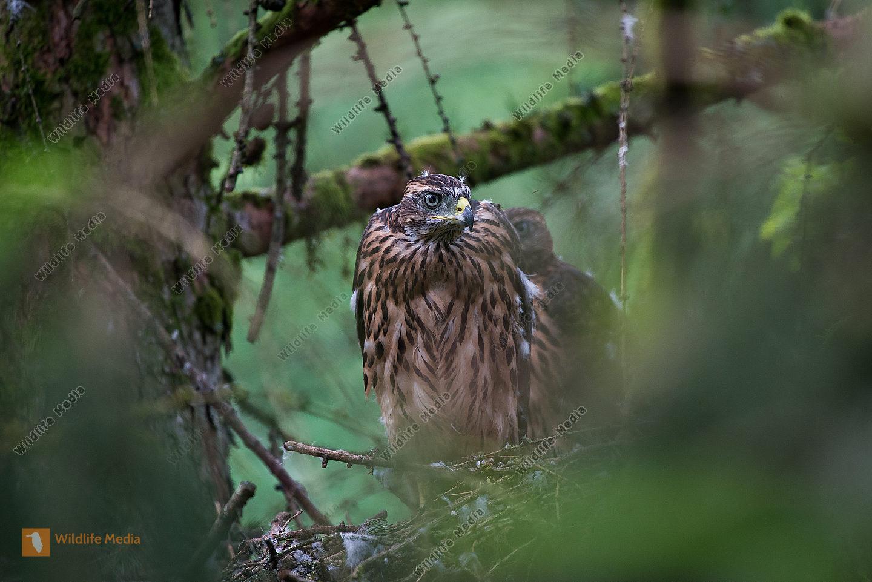 Habicht Accipiter gentilis  fast flügge Jungvögel am Horst