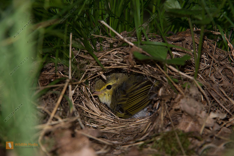 Waldlaubsänger Phylloscopus sibilatrix Nest Fütterung Wald Boden Tarnung