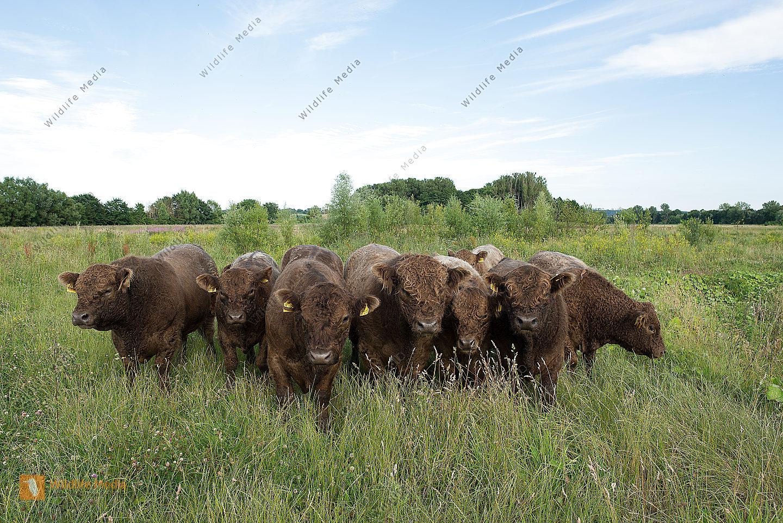 beweidung Gallowayrinder naturschutz