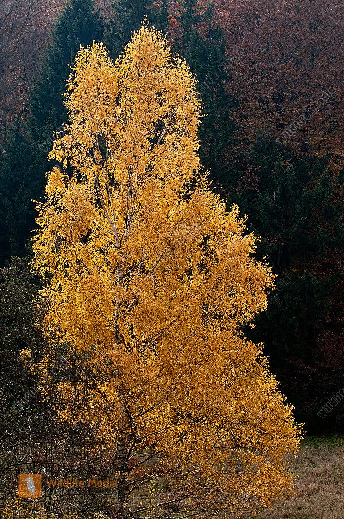 Betula pendula Hängebirke Herbst Sandbirke