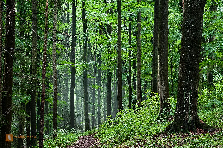 Buche Buchenwald Fagus sylvatica Laubwald regen Sommer