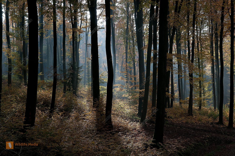 Buchenwald Herbst Laubfärbung Lichtstimmung spessart