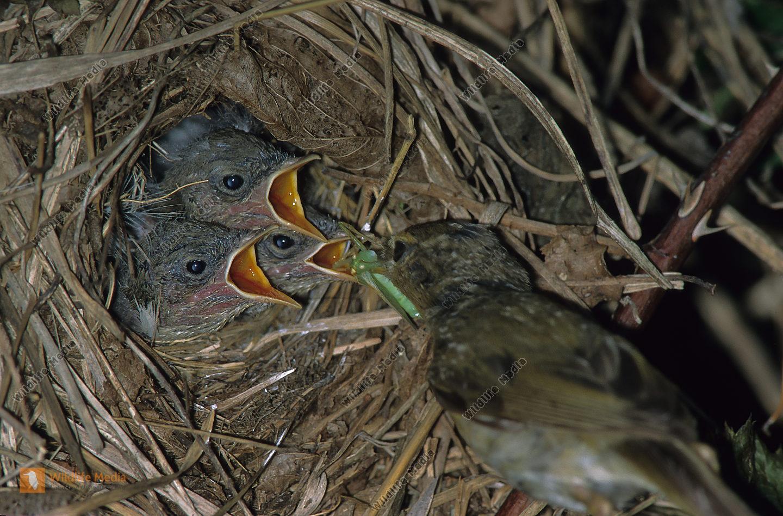 Weidenlaubsänger Zilpzalp Phylloscopus collybita Nest Brut Wald