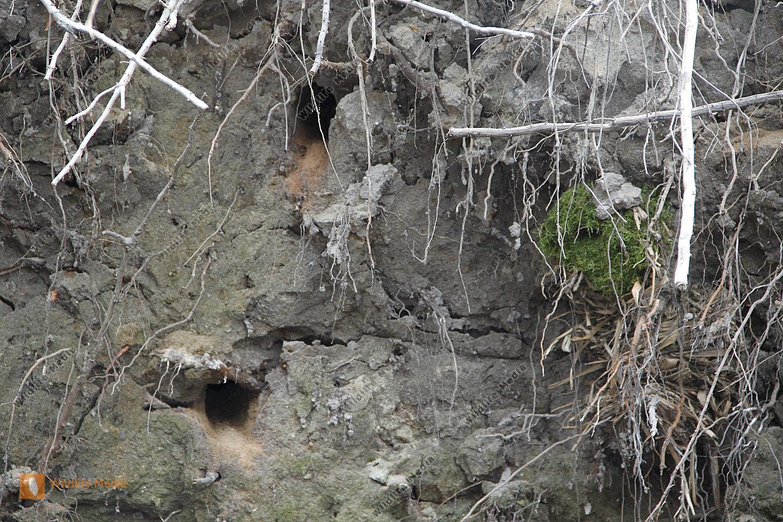 Eisvogel, LA: Alcedo atthis, Bruthöhle, Steilwand, Gewässer