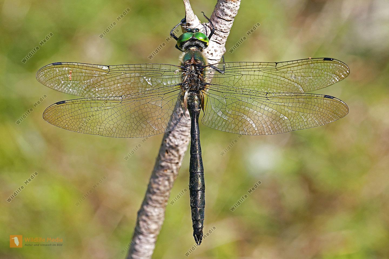 Balkan-Smaragdlibelle