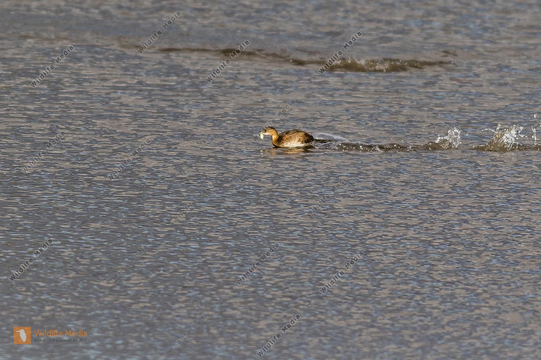 Zwergtaucher bei der Nahrungssuche auf dem See