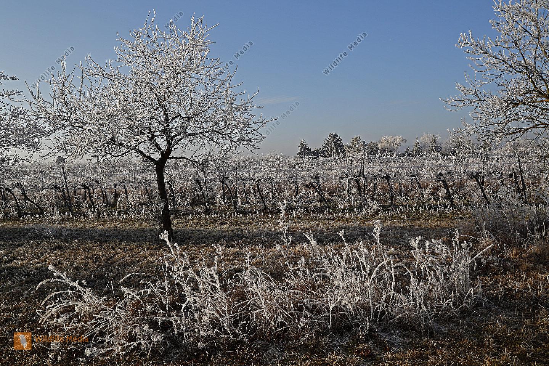 Obstbaum mit Raureif
