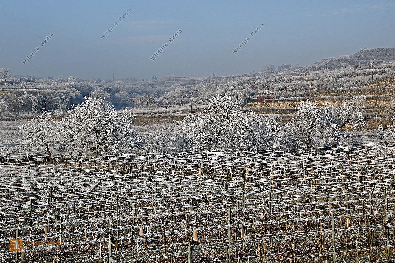 Weingarten mit Raureif