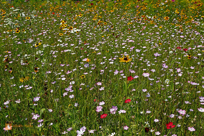 Garten Blumenwiese