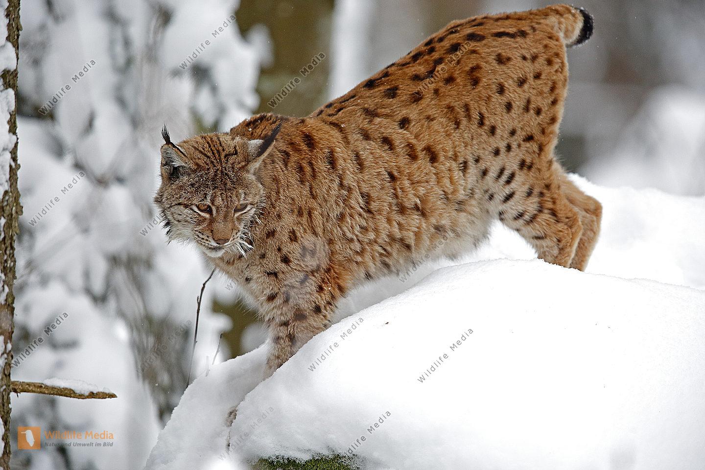 Luchs im Schnee