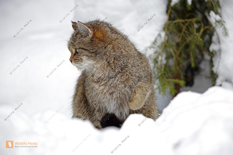 Wildkatze im Schnee
