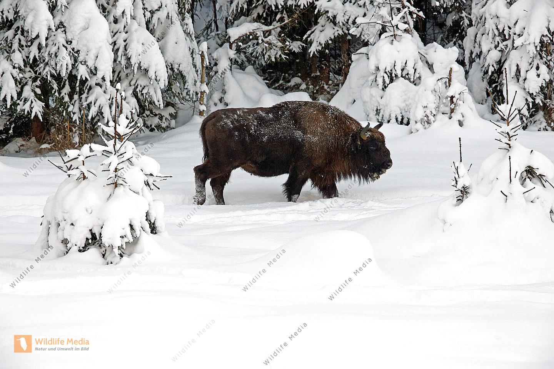 Wisent im Schnee