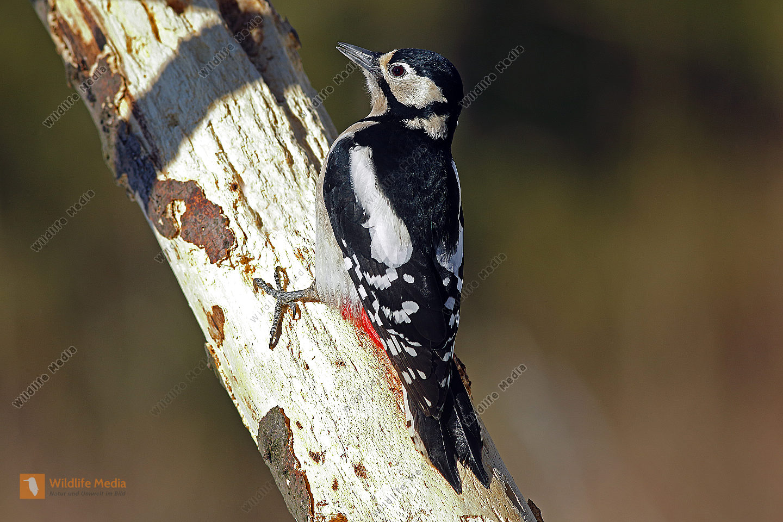 Buntspecht Weibchen