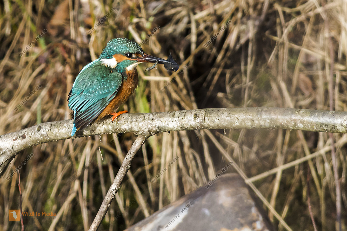 Kingfisher with a little fish is sitting on a branch