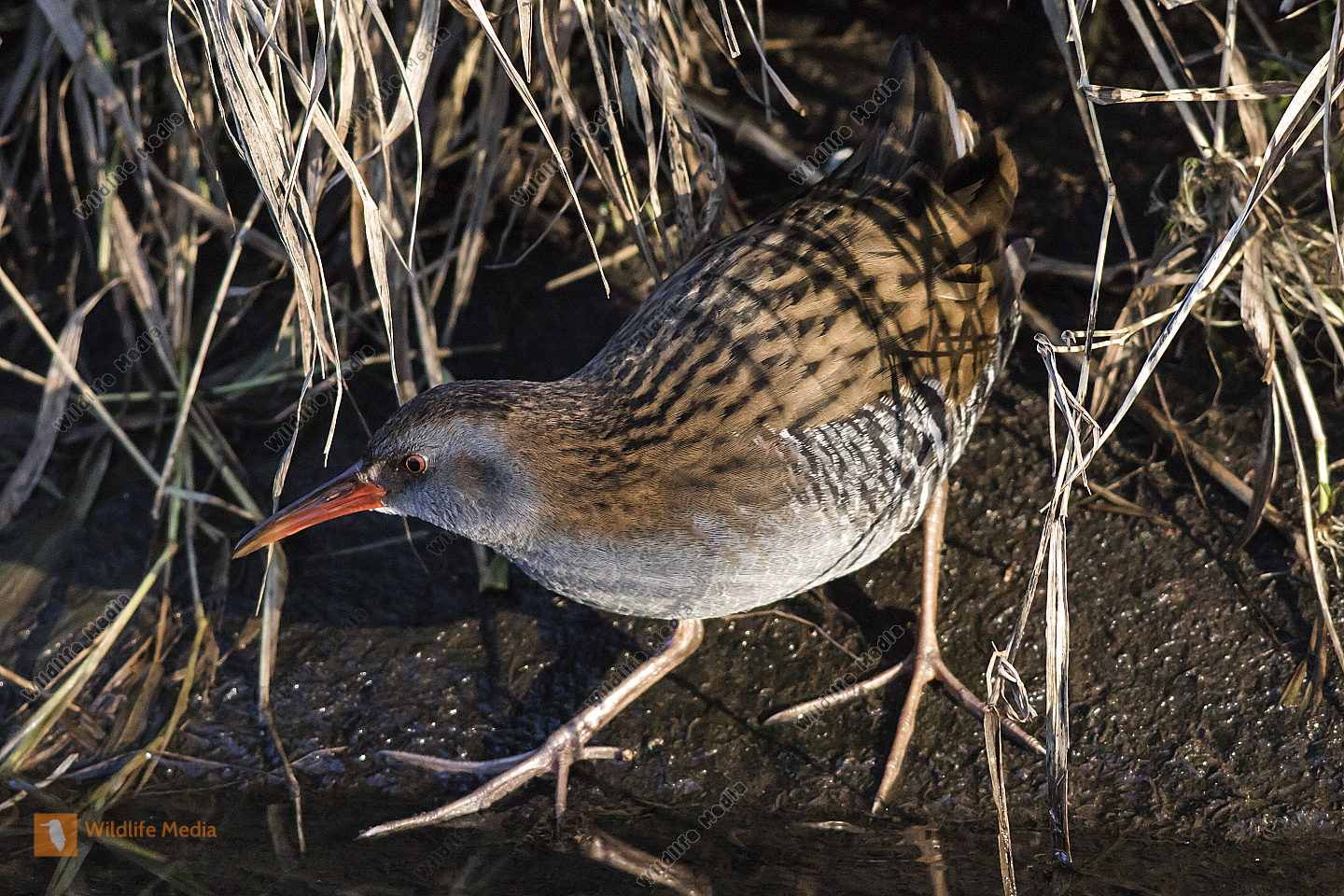 A shy water rail on riverside of Erbach by Beeden/Germany