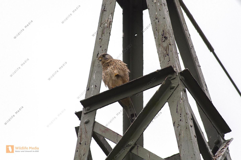 Ein Turmfalke sitzt auf seiner Warte und späht nach Beute