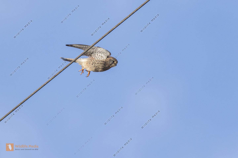 Ein fliegender Turmfalke auf der Suche nach Beute