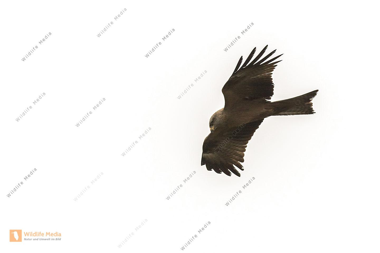 Ein fliegender Schwarzmilan auf Nahrungssuche