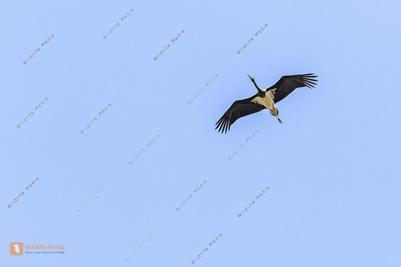 Ein fliegender Schwarzstorch im südlichen Saarpfalz-Kreis