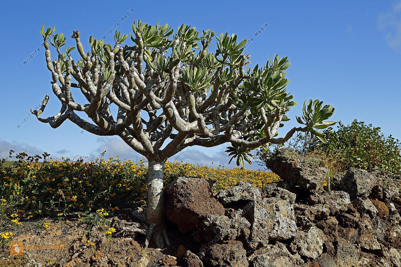 Oleanderblättrige Kleinie