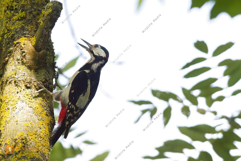 Ein Buntspecht am Baumstamm sucht nach Nahrung