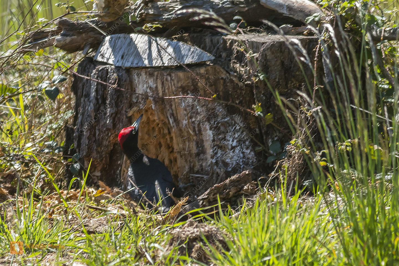 Ein Schwarzspecht am Baumstamm