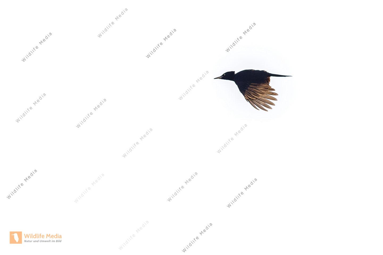 Ein fliegender Schwarzspecht