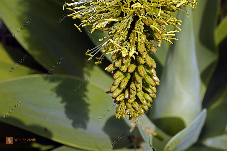 Drachenbaum-Agave