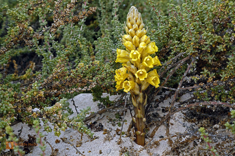 Gelbe Cistanche