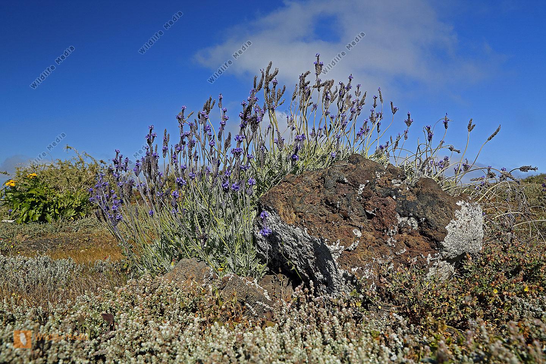 Kanarischer Lavendel