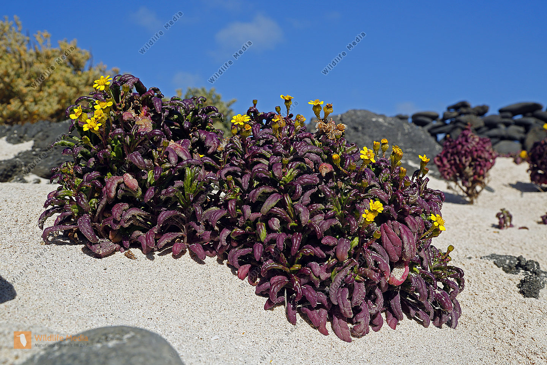 Blumenpracht auf Lanzarote