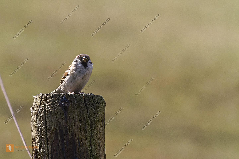 Ein Haussperling sitzt auf einem Ast