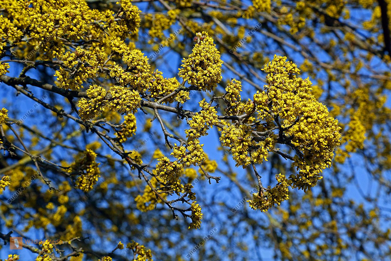 Blühender Gelber Hartriegel