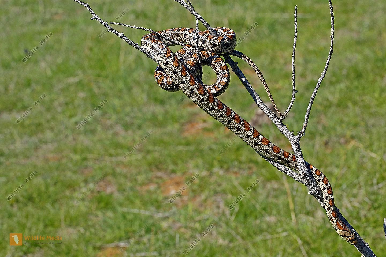 Leopardnatter