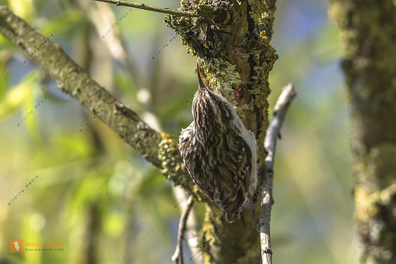 Ein Waldbaumläufer am Baumstamm auf Futtersuche