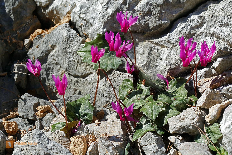 Geschweiftblättriges Alpenveilchen