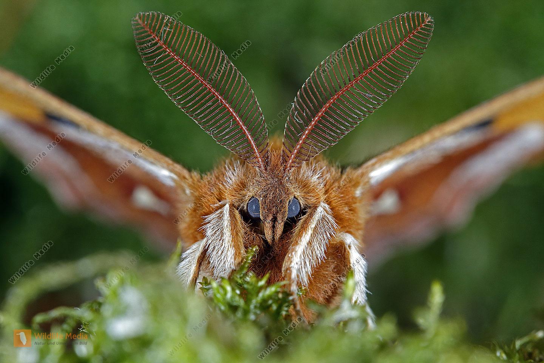 Nagelfleck Männchen