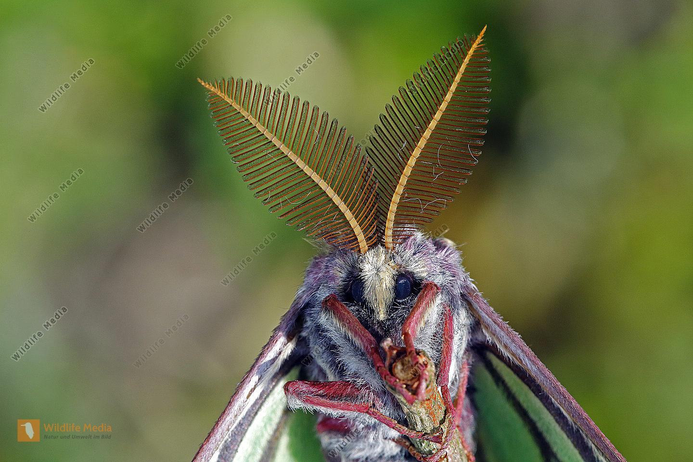 Isabellaspinner Männchen
