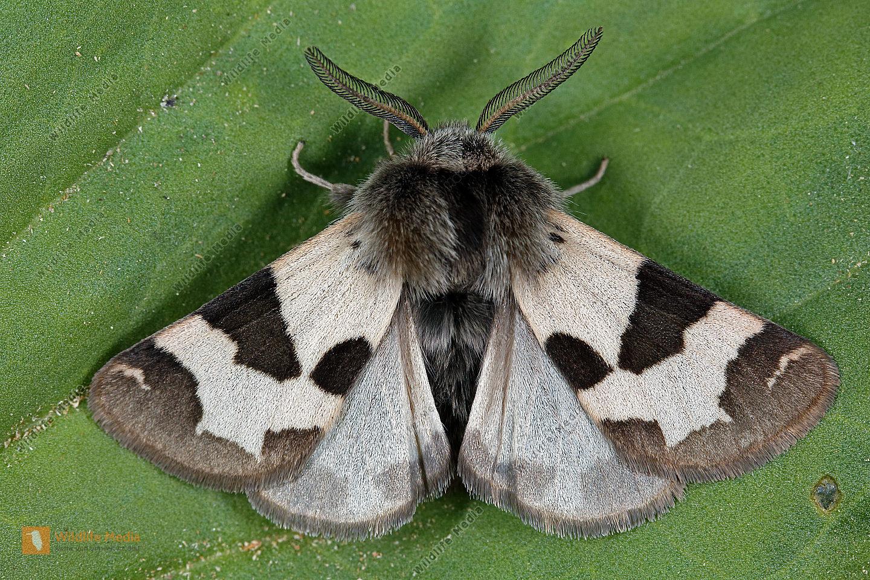 Labkrautbär Männchen