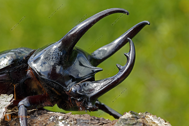 Kaukasus Nashornkäfer Männchen