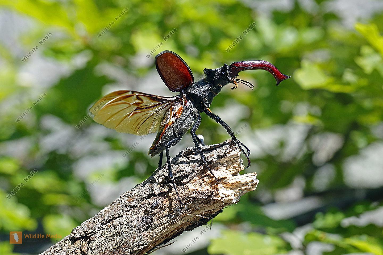 Hirschkäfer Männchen abfliegend