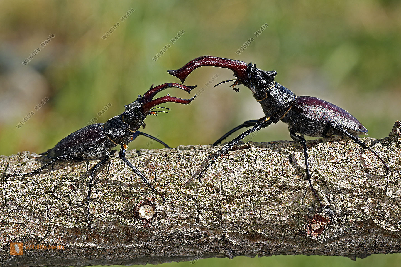 Kämpfende Hirschkäfer