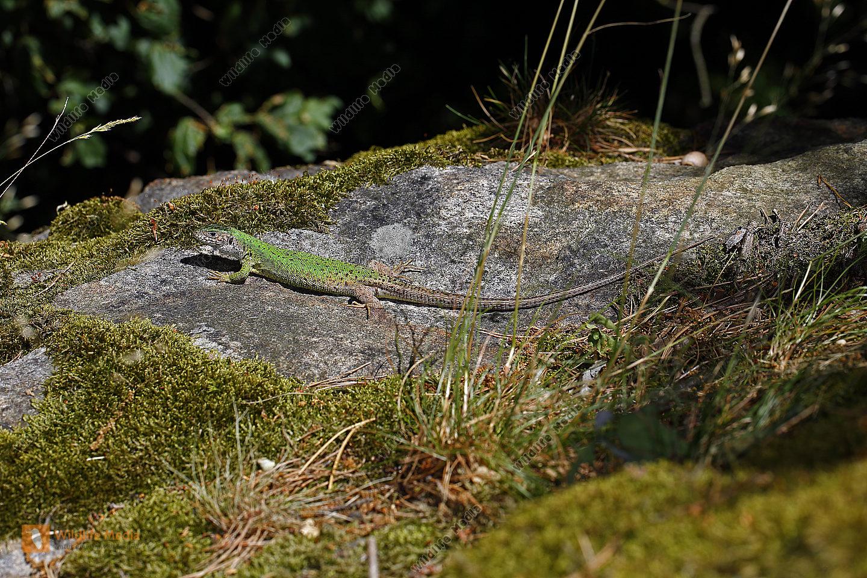 Smaragdeidechse Weibchen