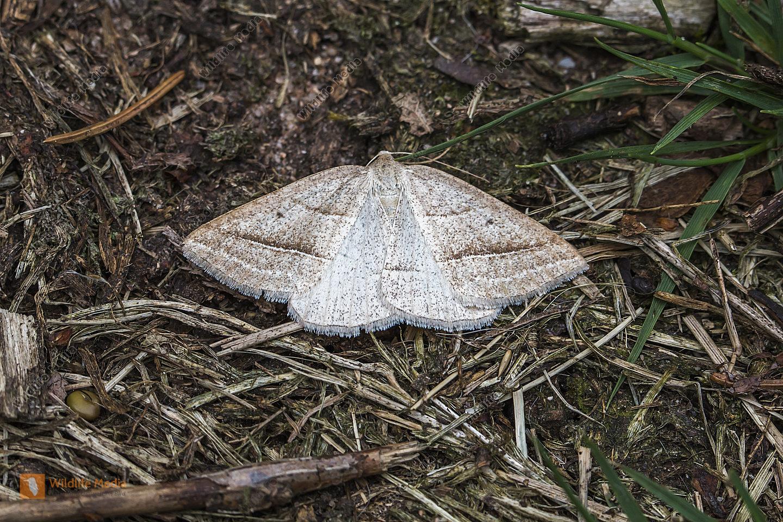 Ein Morwald-Adlerfarnspanner am Waldboden