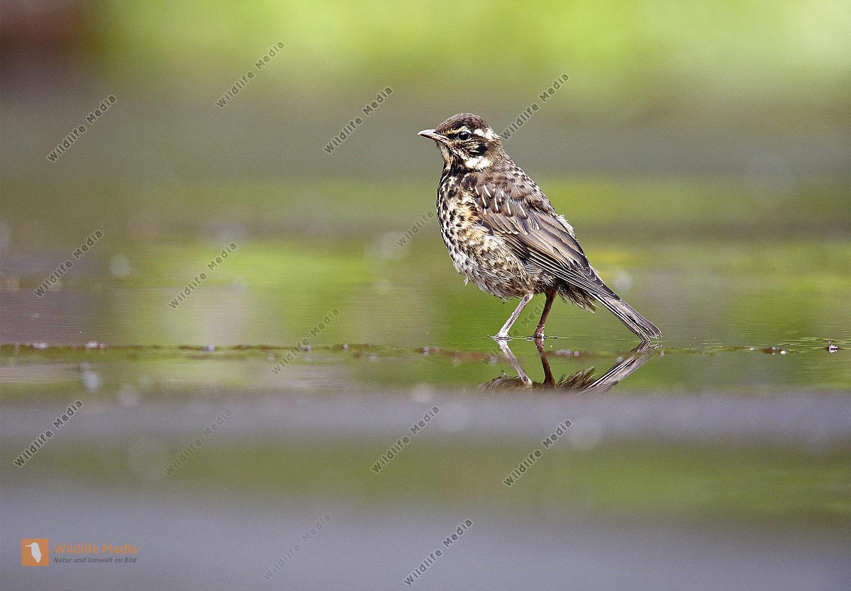Rotdrossel Jungvogel