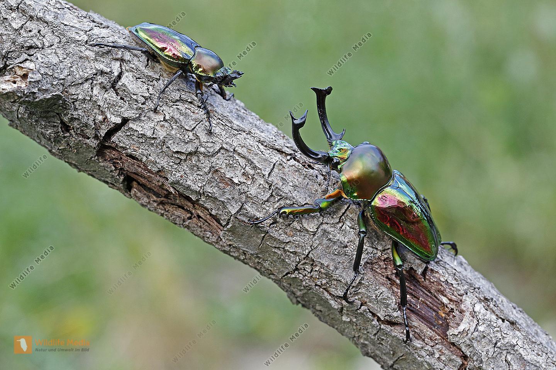 Australischer Pracht-Hirschkäfer Pärchen