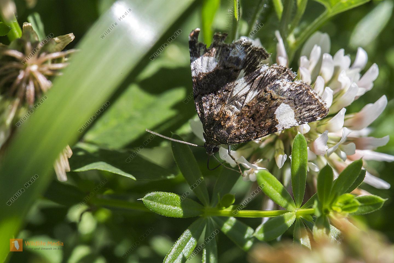 Eine Ackerwinden-Trauereule an Weißklee