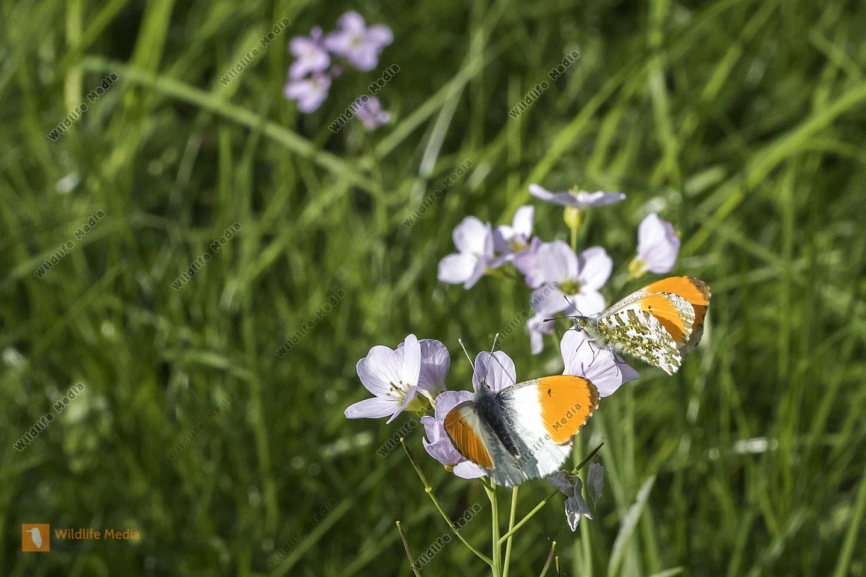 Ein Aurorafalter auf einer Blumenwiese